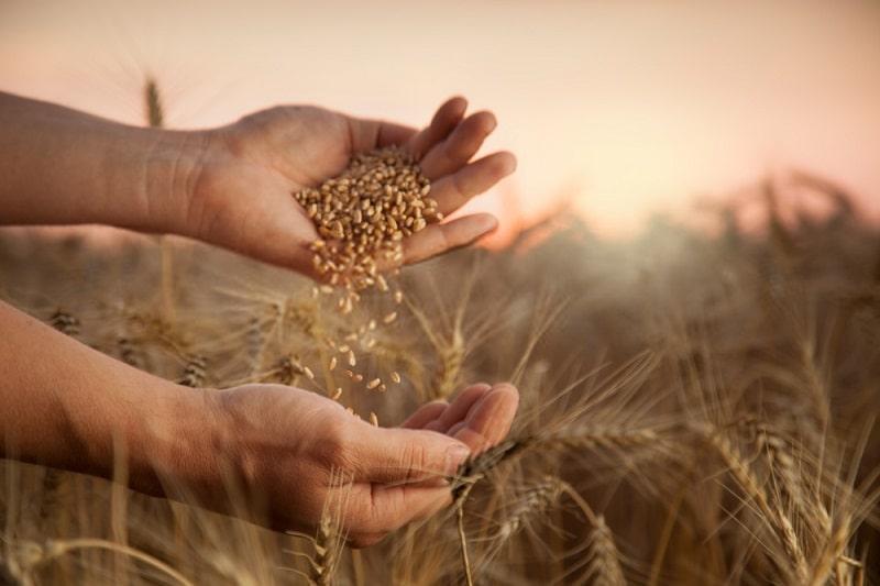 برآورد مجازی عملکرد گندم در شرایط تولید ارگانیک