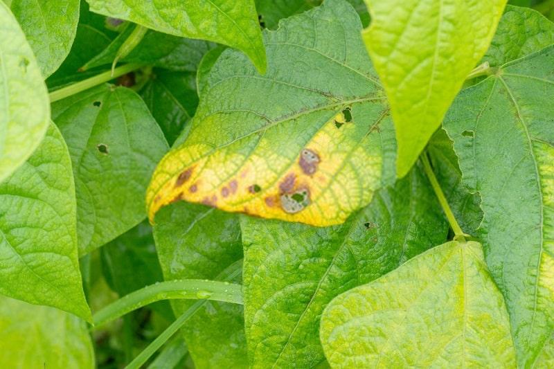 استراتژیهای بکارگیری مقاومت در برابر بیماریهای گیاهی