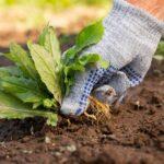کنترل علف های هرز در زراعت ارگانیک