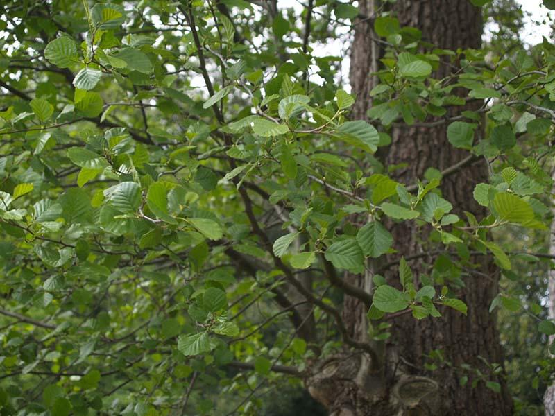 خواص درمانی پوست درخت توسکا قشلاقی