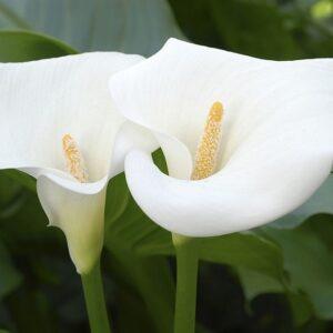 تیره گل شیپوری