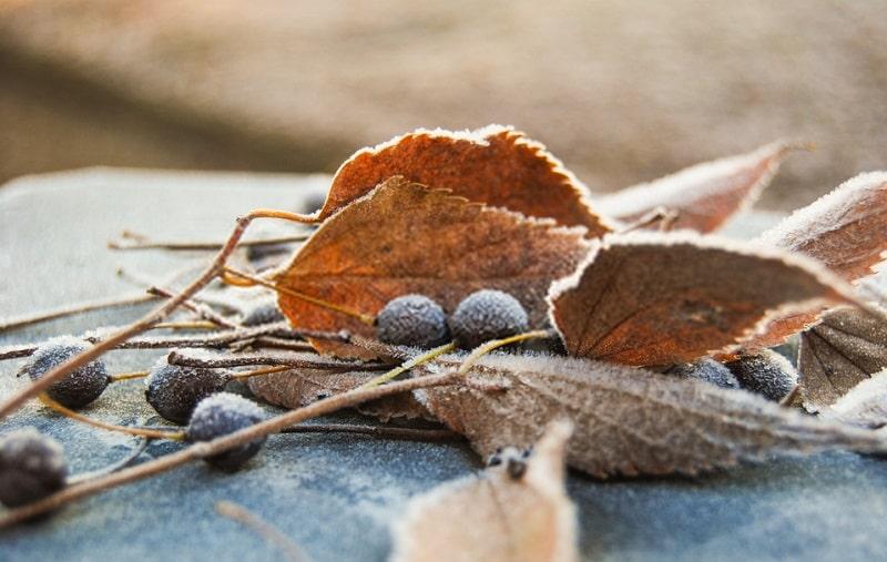 برگ های درخت داغداغان