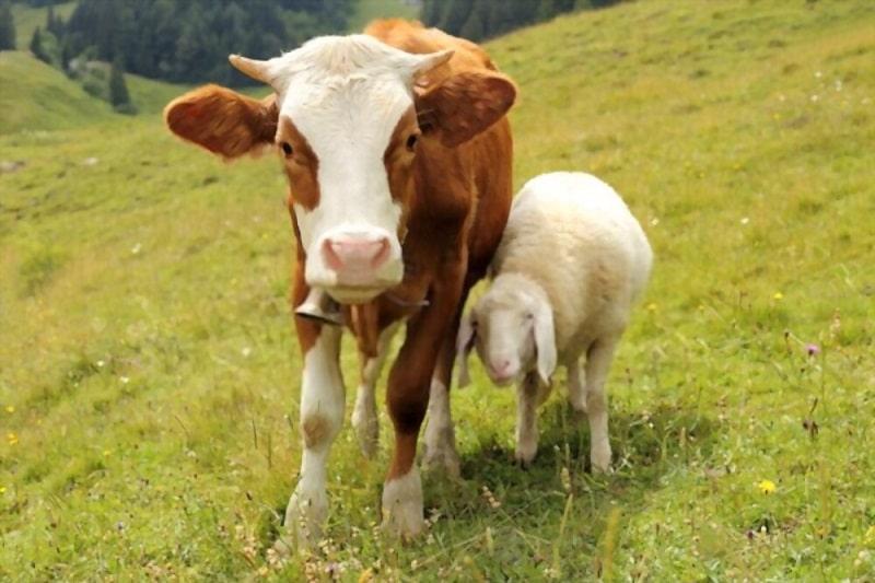 کشت علوفه برای دام ها در کشاورزی و تولید ارگانیک