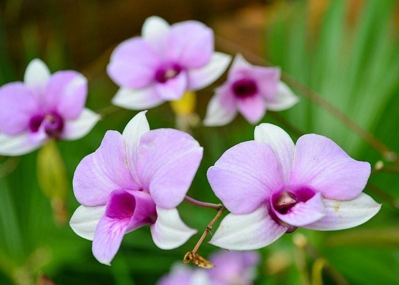 Epidendrum nonile Thunb - نوعی ار گیاهان تیره ثعلب