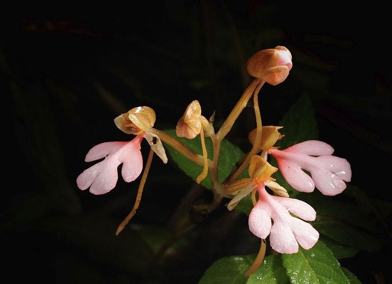 .Habenaria pectinata D. Don - نوعی از گیاهان تیره ثعلب