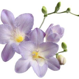 تیره زنبق