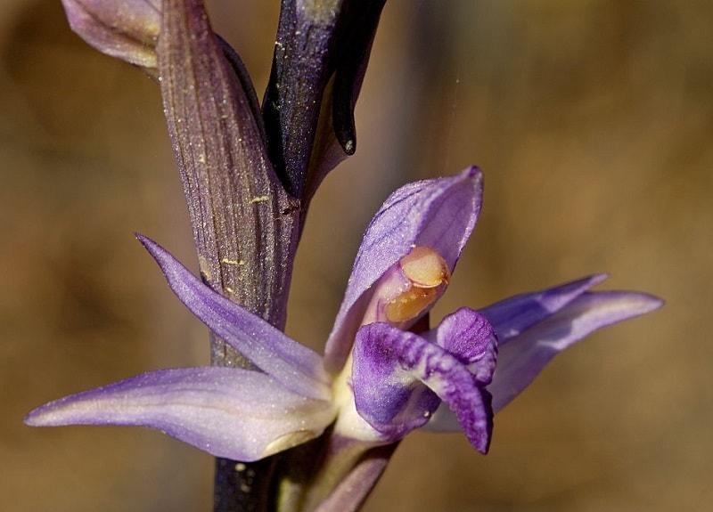 Limodorum striatum Thunb - نوعی از گیاهان تیره ثعلب