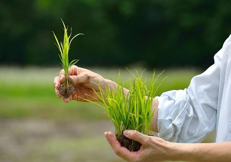 خواص درمانی جوانه برنج