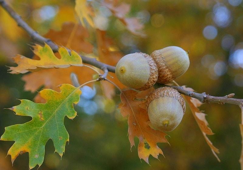 ارزش پوست درخت بلوط در استعمال خارج