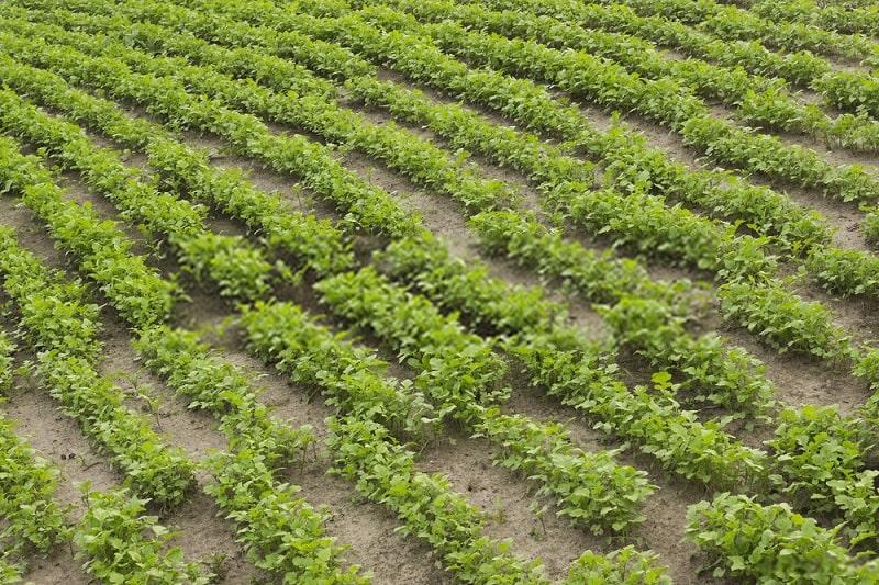 کرتهایی با خصوصیات خاص در زمین زراعی مرغوب