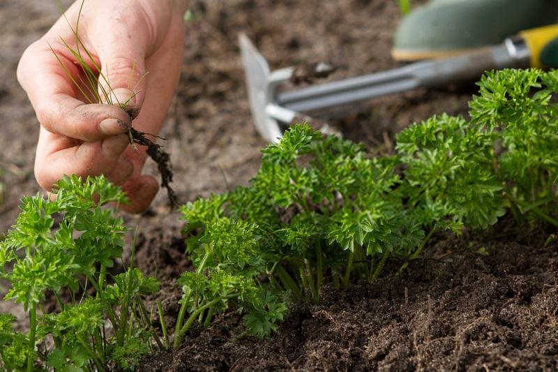 پدیده آللوپاتی در تناوب زراعی