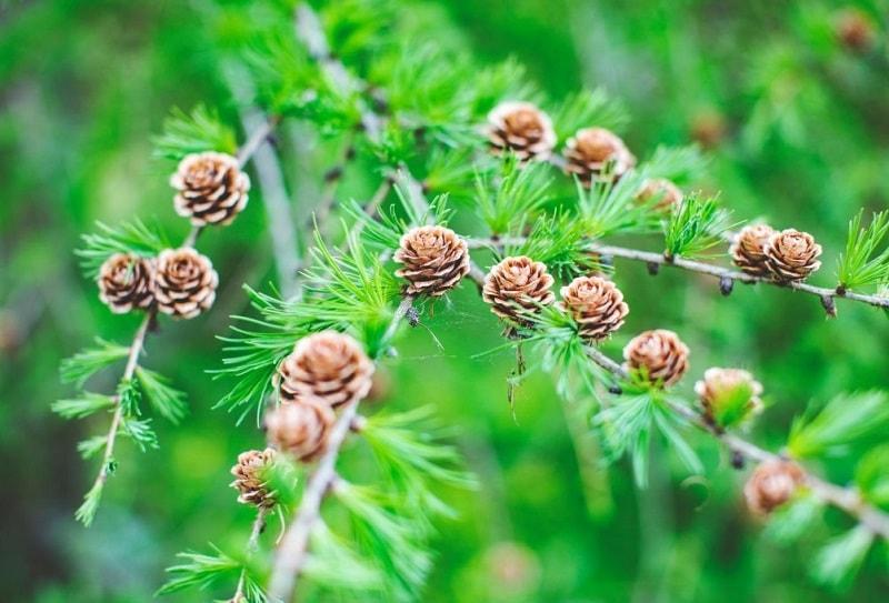 گیاهان تیره سرو