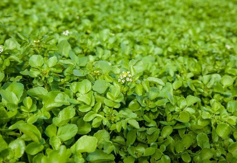 گیاه علف چشمه را برای مصارف درمانی با ریشه از خاک خارج می کنند