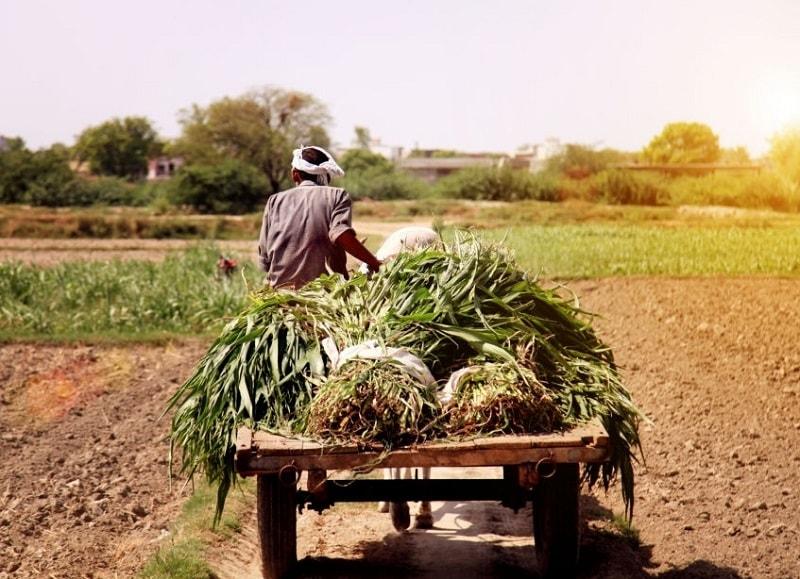 جمع آوری گیاهان و حمل آن ها به وسیله چرخ های دستی