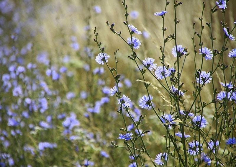 برداشت ریشه گیاهان مانند کاسنی در جمع آوری گیاهان