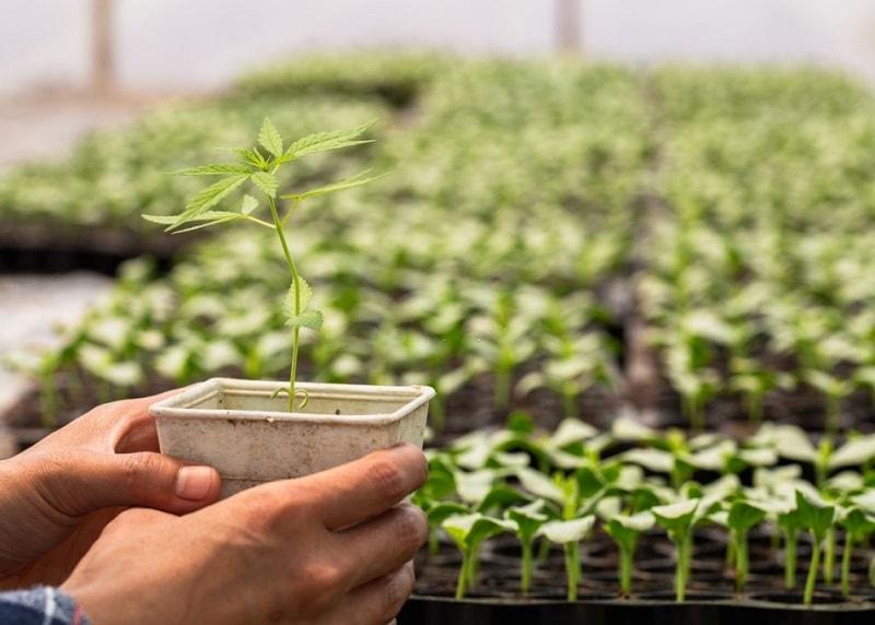 پرورش گیاهان دارویی با کاشتن بذر  پایه های مختلف گیاه