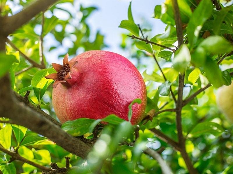 در بررسی گیاهان و درختان، درخت انار بیش تر در ایران یافت می شود و پرورش می یابد
