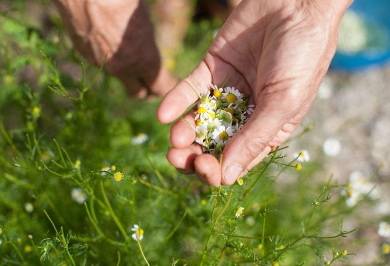 مقرون به صرفه بودن گیاهان دارویی دیگر مانند Anthemis nobilis