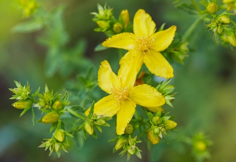 پرورش گیاهان دارویی مانند علف چای در زمین های خشک معمولی