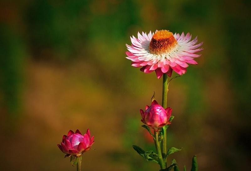 پرورش گیاهان دارویی مانند Papaver bracteatum از تیره خشخاش