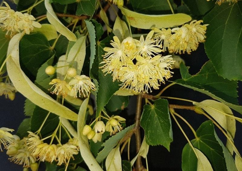 پرورش گیاهان و درختان دارویی مفید و پر مصرف مانند زیرفون
