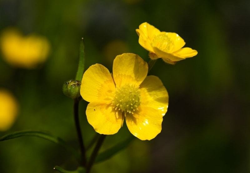 بررسی گیاهان متعدد از تیره آلاله در یک ناحیه