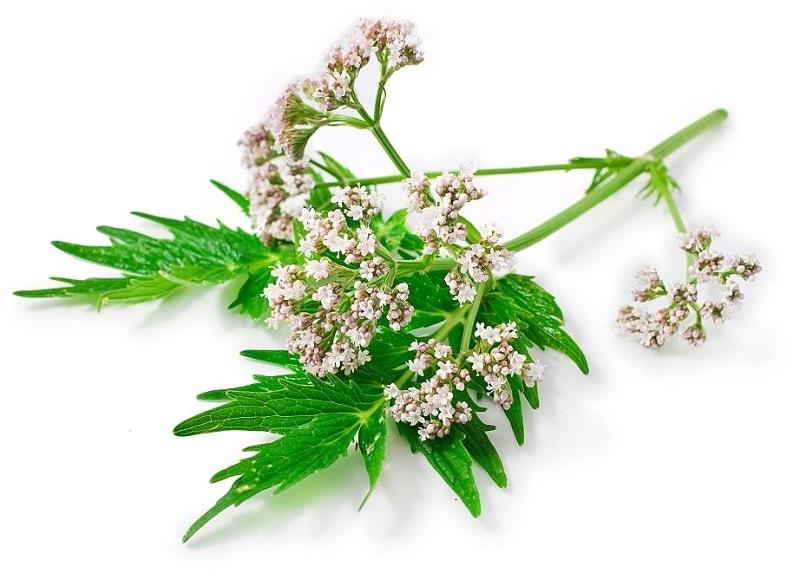 گل های گیاه سنبل الطیب ، دارای رنگ سفید یا صورتی و بویی مطبوع است
