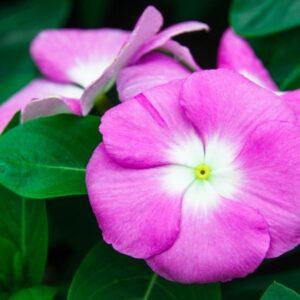 تیره گل حنا