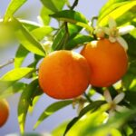 درخت نارنج