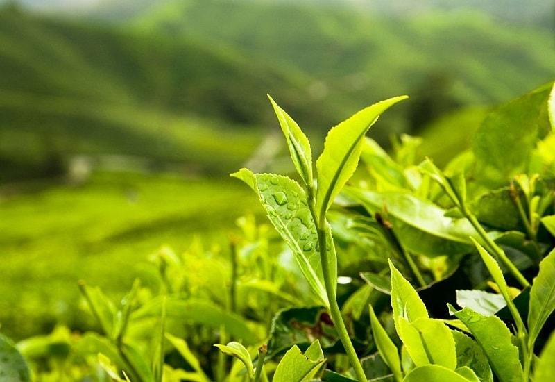 ترکیبات چای های مختلف