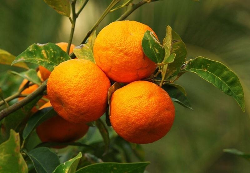 اسانس پتی گرن (Essence de Petit - Grains) - حاصل از تقطیر میوه های سبز و نارس نارنج