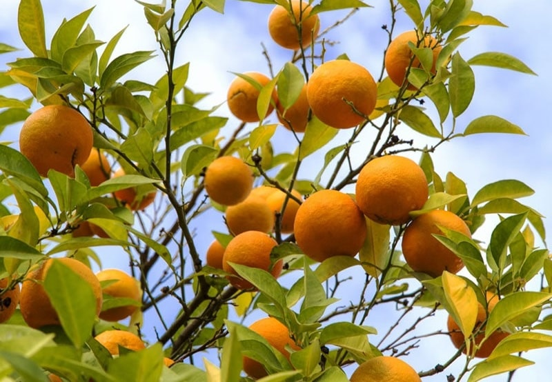 تکثیر درخت نارنج از طریق پیوند