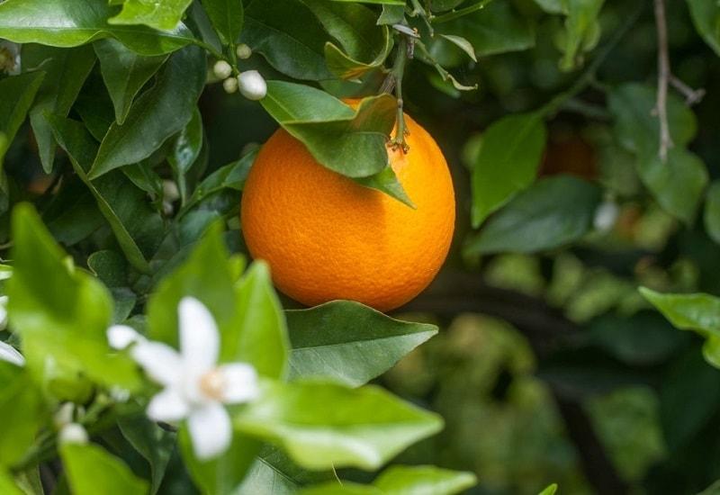 مکان مناسب برای پرورش درخت نارنج