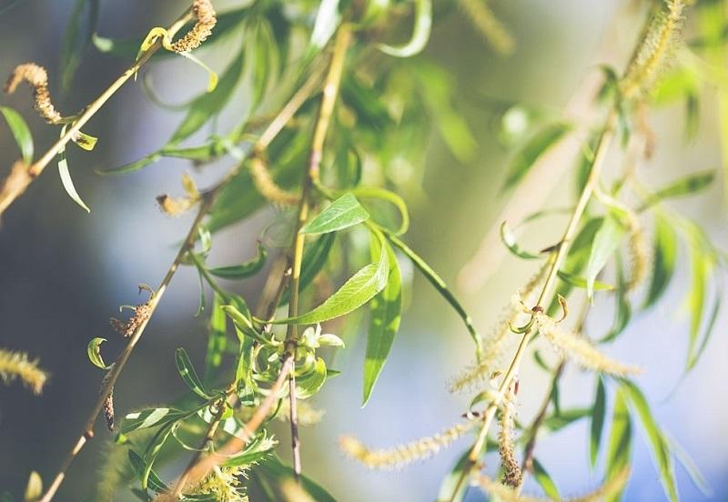 صور دارویی درخت بید