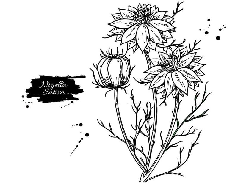 گیاه سیاه دانه از تیره آلاله