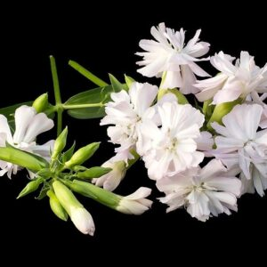 گل صابونی
