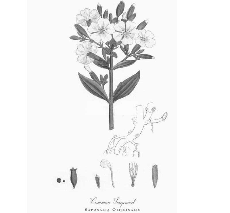گیاه صابونی از تیره گل میخک
