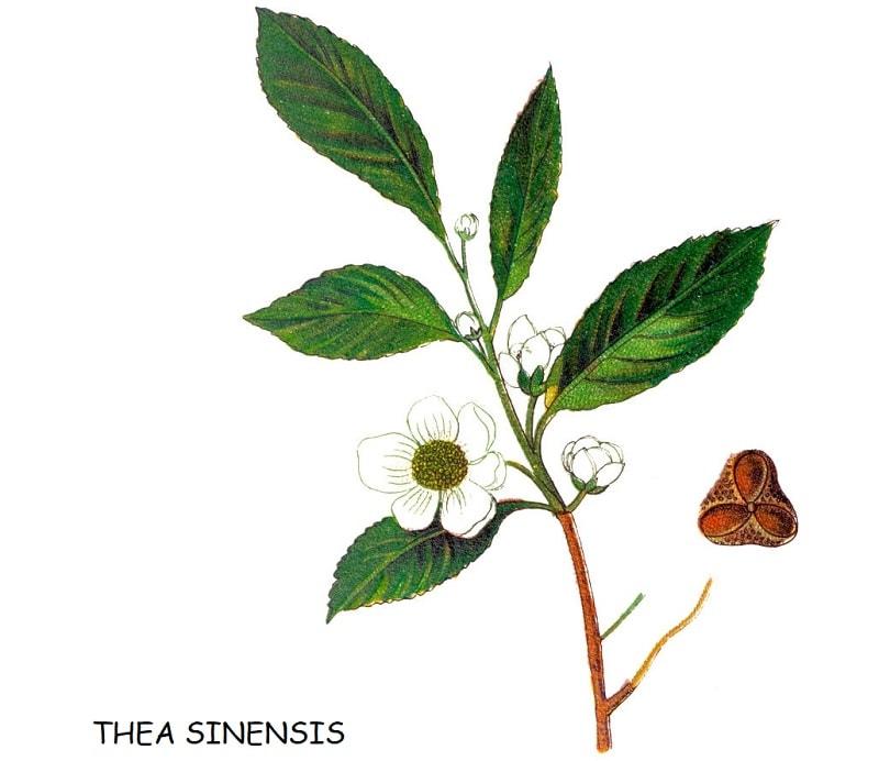 درخت چای از تیره چای