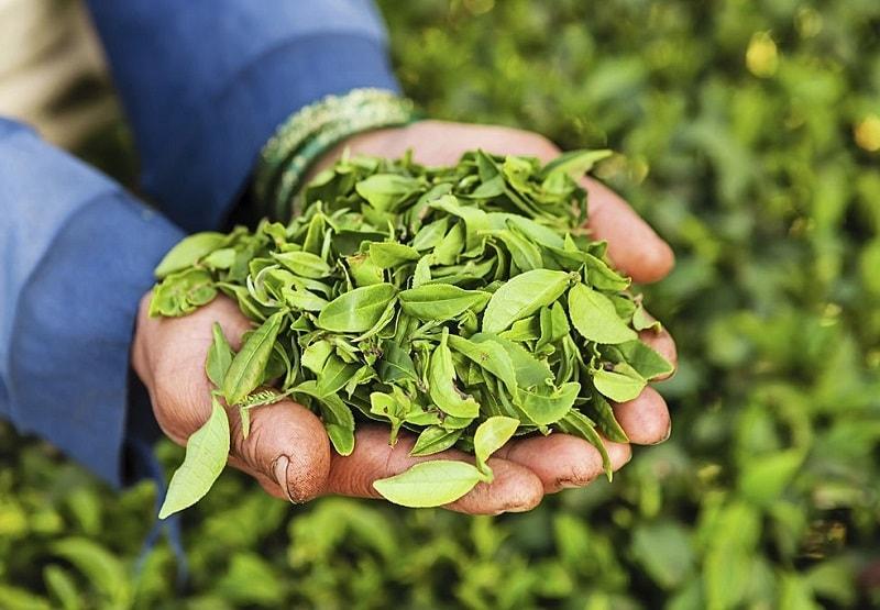 خواص درمانی درخت چای