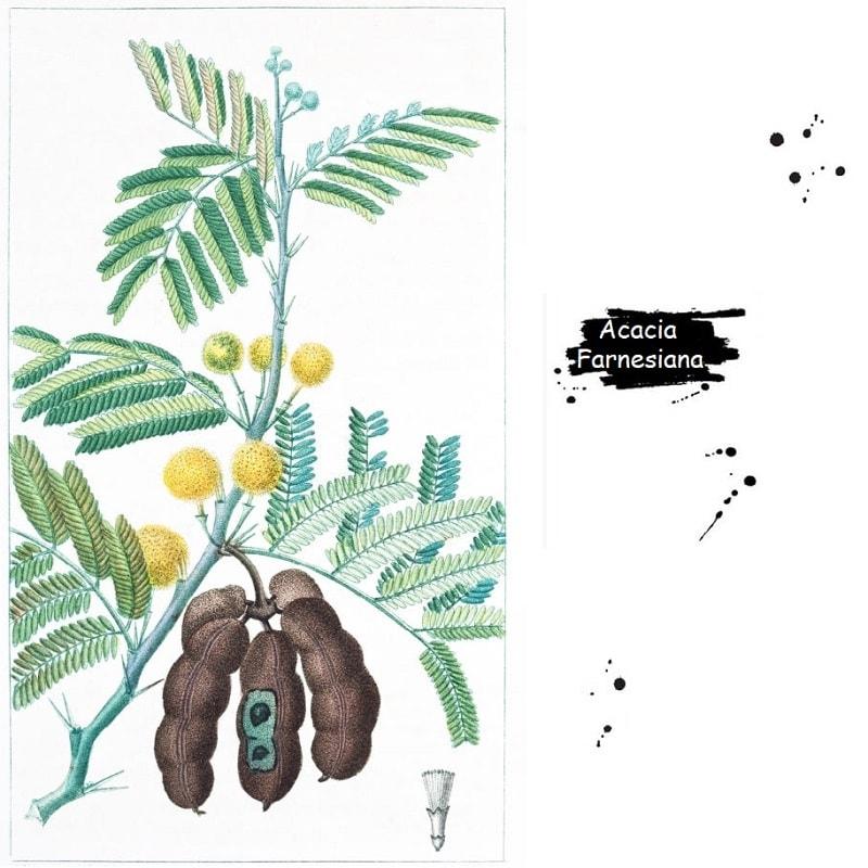گیاه مشک از تیره فرعی گل ابریشم