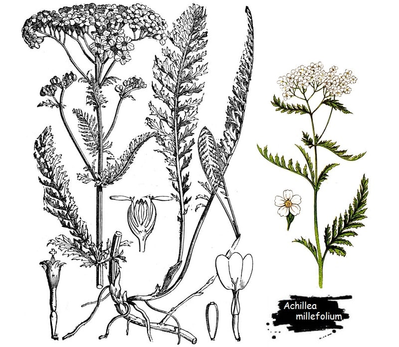 گیاه بومادران از تیره کاسنی