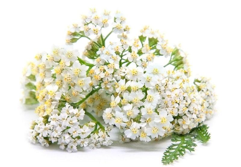 گل بومادران