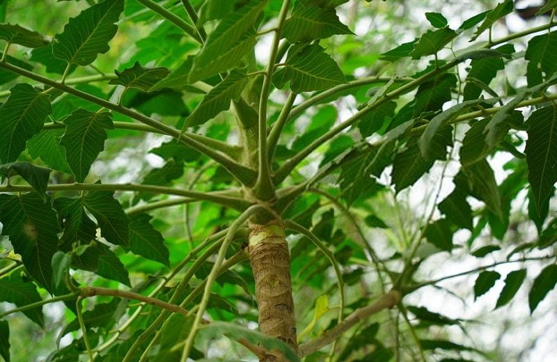 Ailanthus excelsa گونه ای از گیاهان تیره عرعر