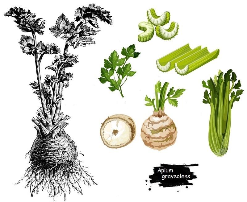گیاه کرفس از تیره جعفری
