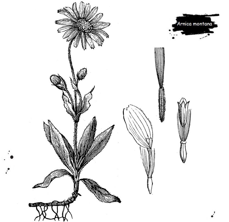 گیاه آرنیکا از تیره کاسنی