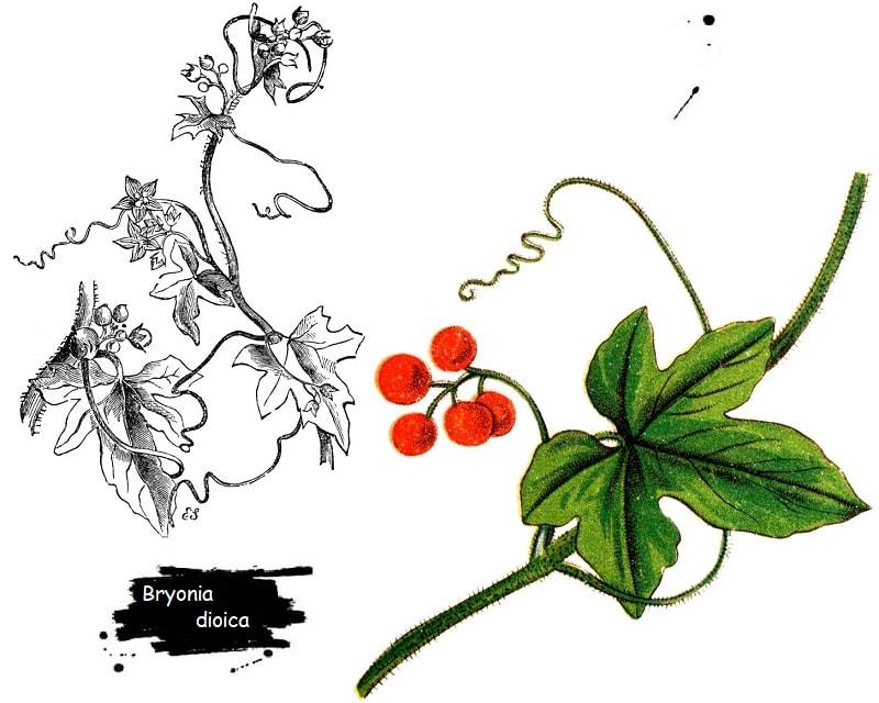 گیاه فاشرا از تیره کدو