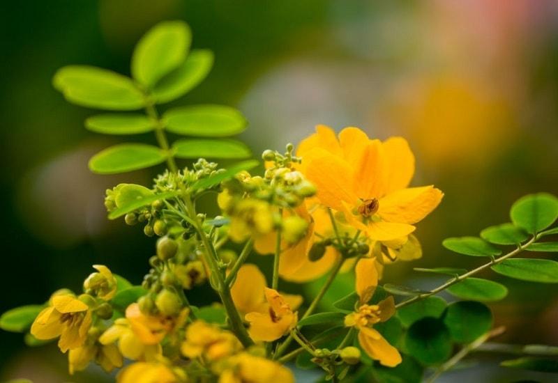 Cassia obovata - از گونه های دیگر مولد سنا