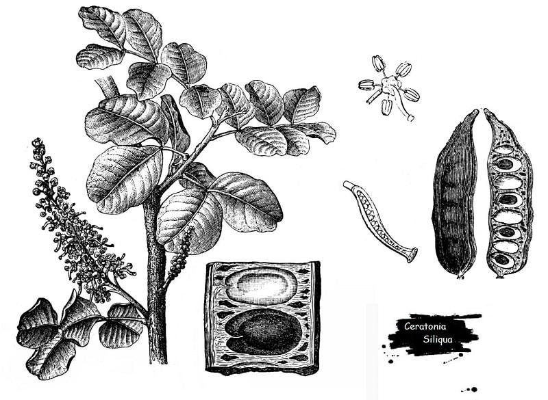 گیاه خرنوب از تیره فرعی گل ارغوان