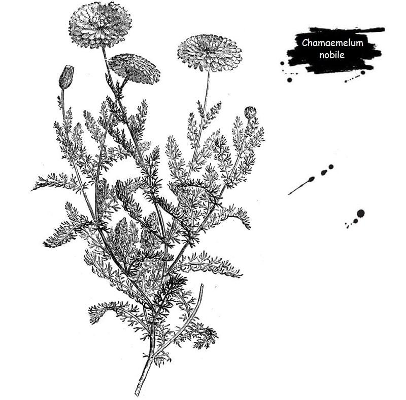 گیاه بابونه رومی از تیره کاسنی
