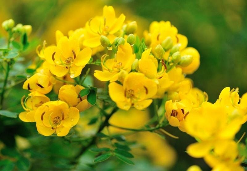 اسی دکریزوفانیک موجود در ترکیبات گیاه سنا